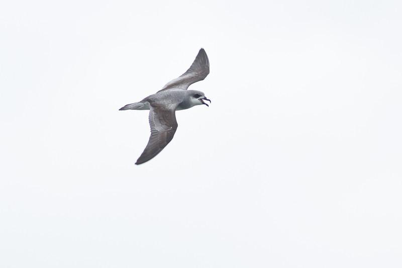 Black-winged Petrel (display flight) Lord Howe Island, NSW December, 2011 IMG_9234