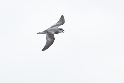 Black-winged Petrel (display flight) Lord Howe Island, NSW December, 2011 IMG_9234