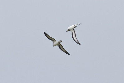Black-winged Petrel (display flight) Lord Howe Island, NSW December, 2011 IMG_0977