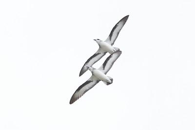 Black-winged Petrel (display flight) Lord Howe Island, NSW December, 2011 IMG_0922