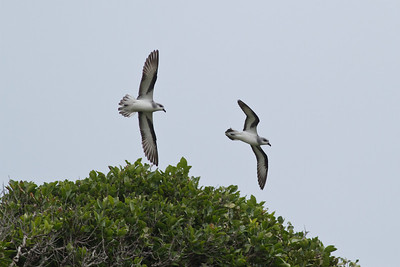 Black-winged Petrel (display flight) Lord Howe Island, NSW December, 2011 IMG_1228