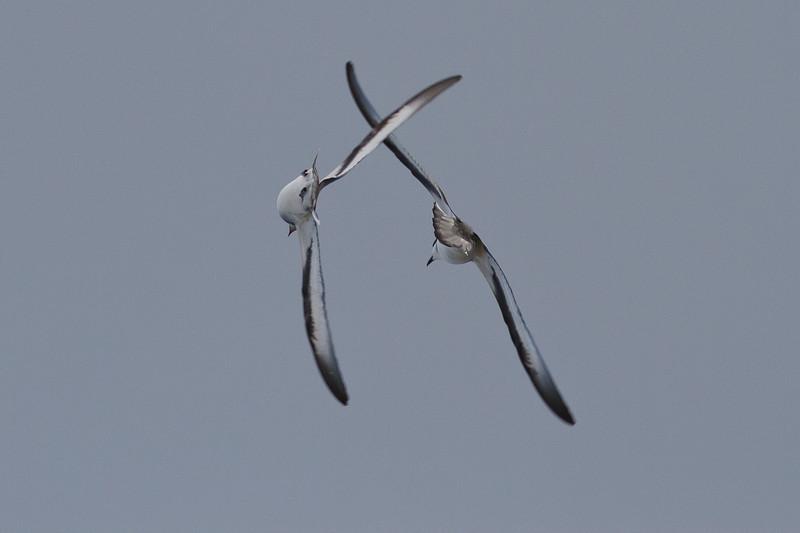 Black-winged Petrel (display flight) Lord Howe Island, NSW December, 2011 IMG_1545