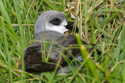 Black-winged Petrel Lord Howe Island, NSW December, 2011 IMG_1560