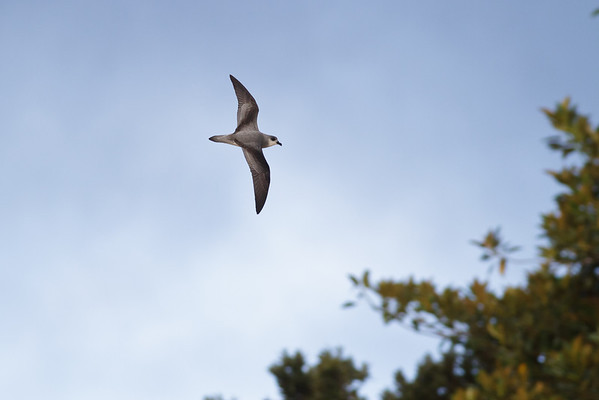 Black-winged Petrel (display flight) Lord Howe Island, NSW December, 2011 IMG_1464