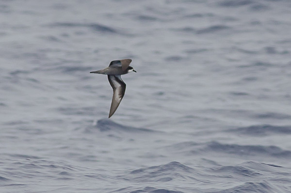 Collared (Magnificent) Petrel (Pterodroma brevipes magnificens)