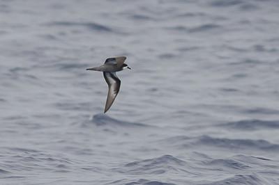 Collared (Magnificent) Petrel (Pterodroma brevipes magnificens)