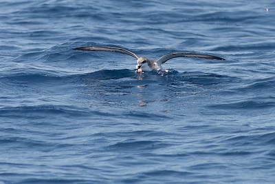 Cook's Petrel Hauraki Gulf, NZ December 22, 2010 IMG_3159