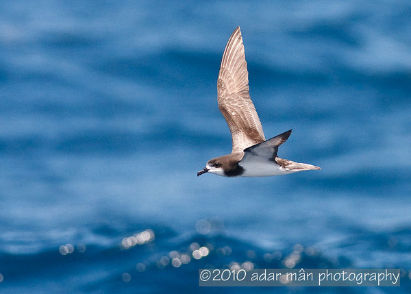 Gould's Petrel Sydney, NSW March, 2010 IMG_7004