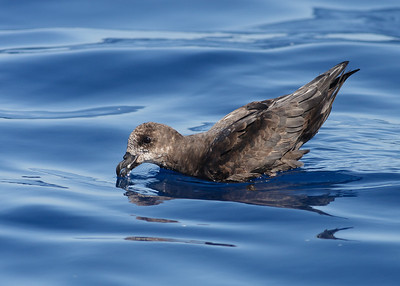 Grey-faced Petrel Sydney, NSW March 12, 2011 IMG_6314