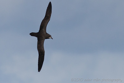 Great-winged Petrel Sydney, NSW June, 2010 IMG_8097