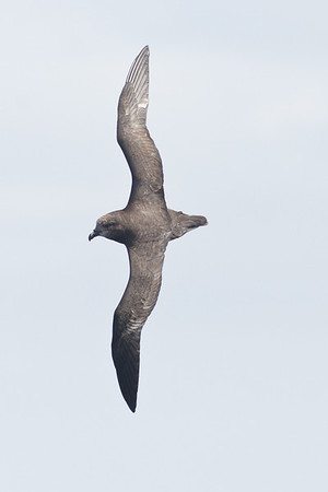 Grey-faced Petrel Wollongong, NSW March 26, 2011 IMG_8211