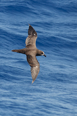 Grey-faced Petrel Wollongong, NSW February 26, 2011 IMG_4787