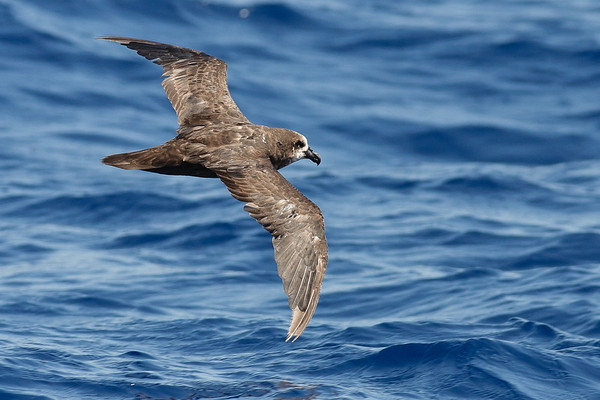 Grey-faced Petrel Wollongong, NSW February 26, 2011 IMG_4629