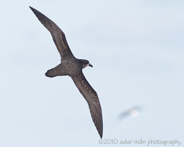 Great-winged Petrel Sydney, NSW June, 2010 IMG_8491