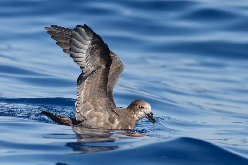 Grey-faced Petrel Sydney, NSW March 12, 2011 IMG_6229
