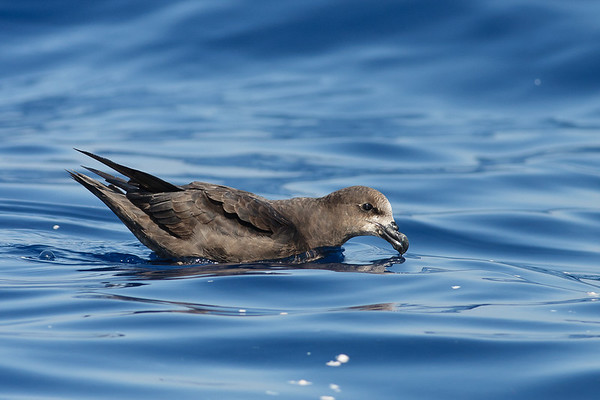 Grey-faced Petrel Sydney, NSW March 12, 2011 IMG_6245