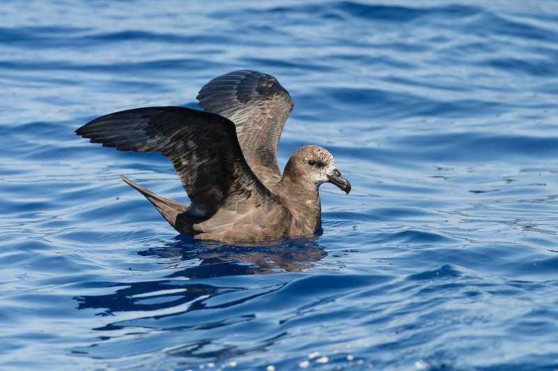 Grey-faced Petrel Sydney, NSW March 12, 2011 IMG_6185