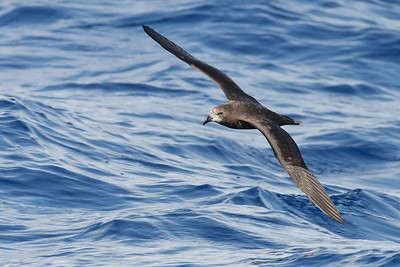 Grey-faced Petrel Wollongong, NSW February 26, 2011 IMG_4394