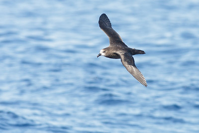 Grey-faced Petrel Sydney, NSW March 12, 2011 IMG_6042