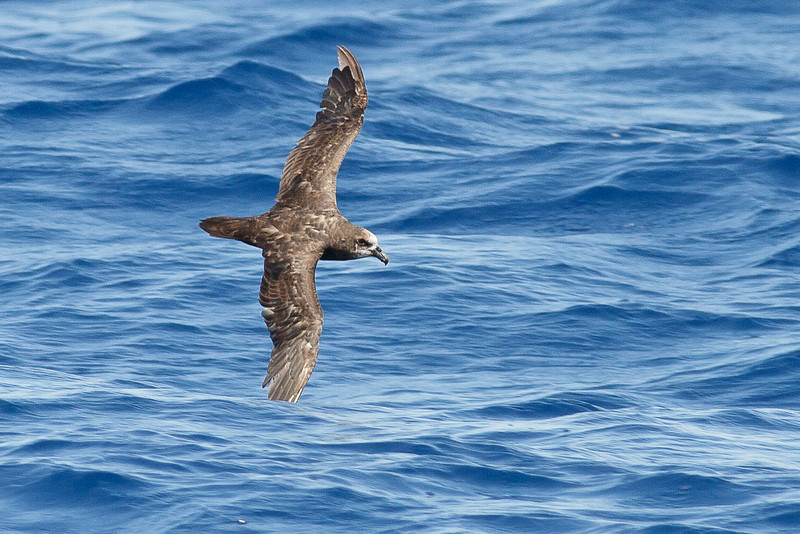 Grey-faced Petrel Wollongong, NSW February 26, 2011 IMG_4585