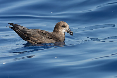 Grey-faced Petrel Sydney, NSW March 12, 2011 IMG_6303
