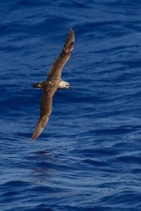Kermadec Petrel (Pterodroma neglecta) Kermadec Petrel (Pterodroma neglecta)