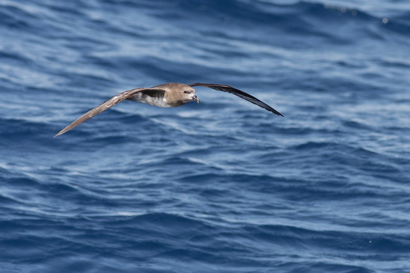 Providence Petrel (white belly possibly due to feather wear) Wollongong, NSW October 23, 2010 IMG_6274