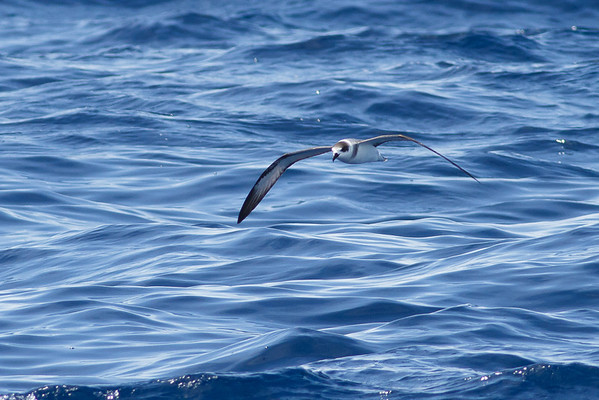 White-necked Petrel Wollongong, NSW January 28, 2012 IMG_4771