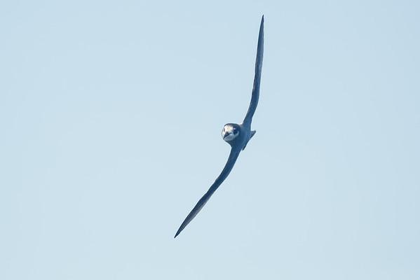 Blue Petrel (Halobaena caerulea)