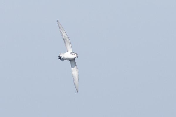 Slender-billed Prion Eaglehawk Neck, TAS September 03, 2011 IMG_0528