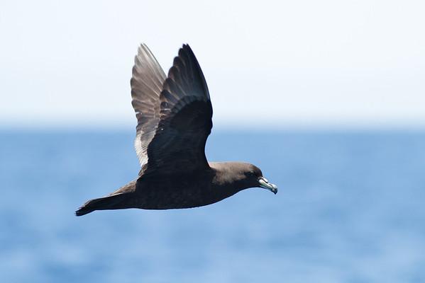 Black Petrel November 24, 2012 Wollongong, NSW IMG_5415