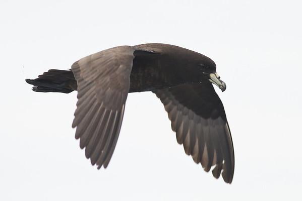 Black Petrel December 15, 2012 Wollongong, NSW IMG_7370