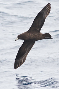 Black Petrel December 15, 2012 Wollongong, NSW IMG_8432