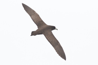 Black Petrel December 15, 2012 Wollongong, NSW IMG_8385