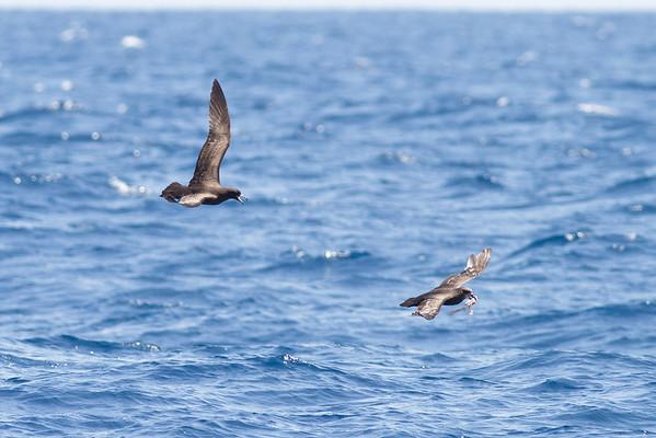 Black Petrel chasing Grey-faced Petrel November 24, 2012 Wollongong, NSW IMG_5391