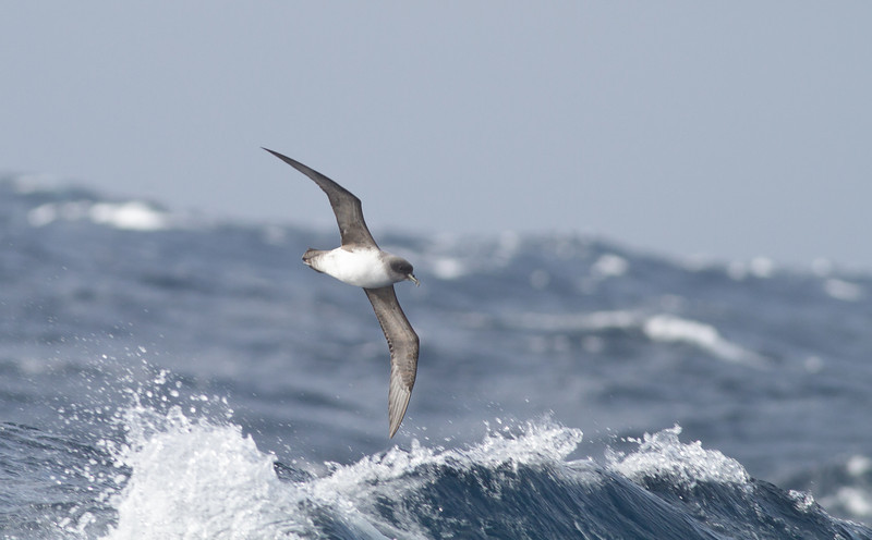 Grey Petrel Eaglehawk Neck, TAS August 18, 2012 IMG_0202