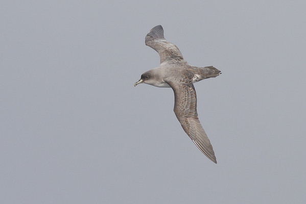 Grey Petrel Eaglehawk Neck, TAS August 18, 2012 IMG_0186