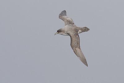 Grey Petrel Eaglehawk Neck, TAS August 18, 2012 IMG_0186