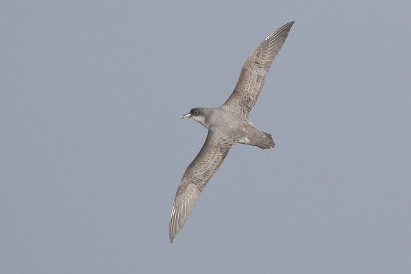 Grey Petrel Eaglehawk Neck, TAS August 18, 2012 IMG_0162