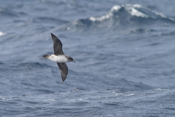 Grey Petrel Eaglehawk Neck, TAS August 18, 2012 IMG_0204