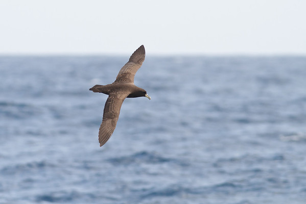 White-chinned Petrel December 08, 2012 Sydney, NSW IMG_6055
