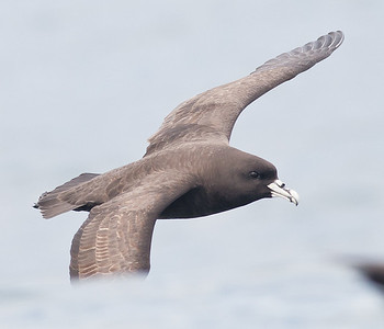 White-chinned Petrel Kaikoura, NZ December, 2010 IMG_7687