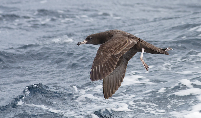 Flesh-footed Shearwater (Ardenna carneipes)