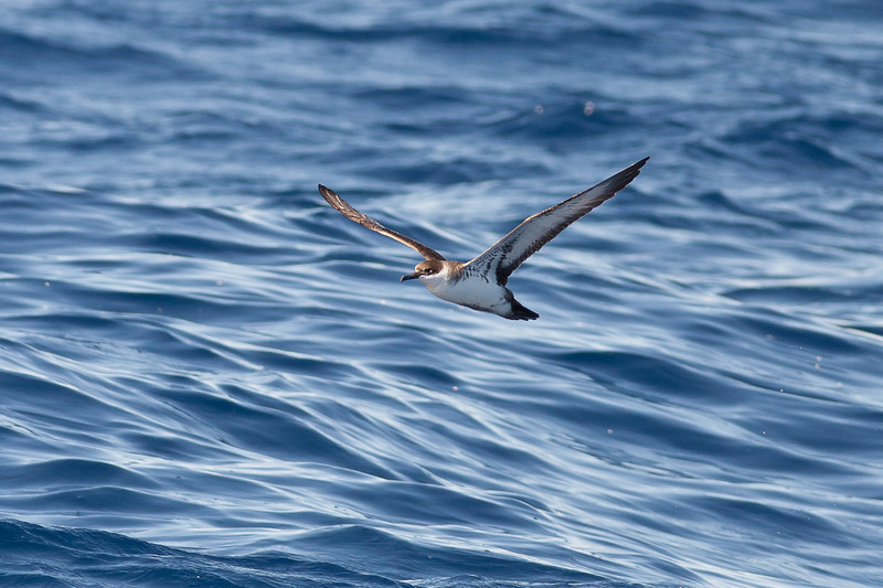 Great Shearwater Sydney, NSW April 09, 2011 IMG_0334