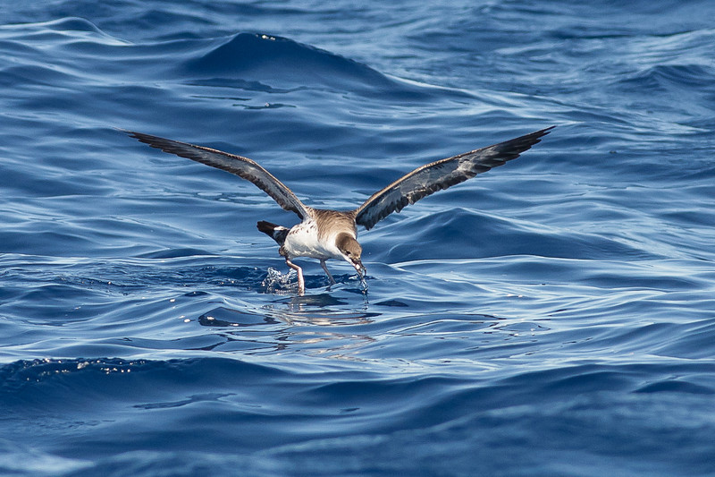 Great Shearwater Sydney, NSW April 09, 2011 IMG_0109