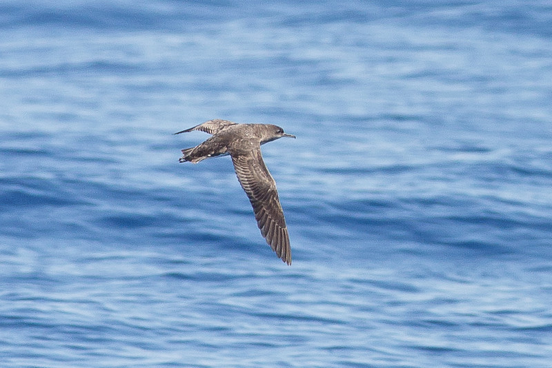 Hutton's Shearwater Sydney, NSW March 12, 2011 IMG_6399