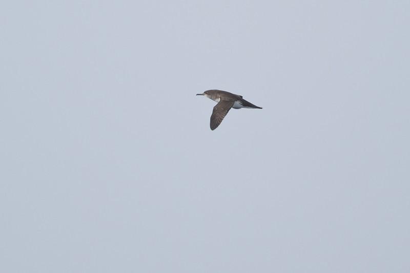 Hutton's Shearwater Eaglehawk Neck, TAS September 04, 2011 IMG_7487