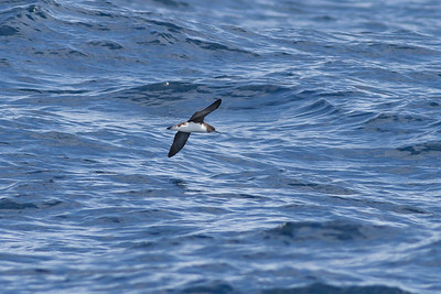 Hutton's Shearwater Wollongong, NSW January 28, 2012 IMG_5076
