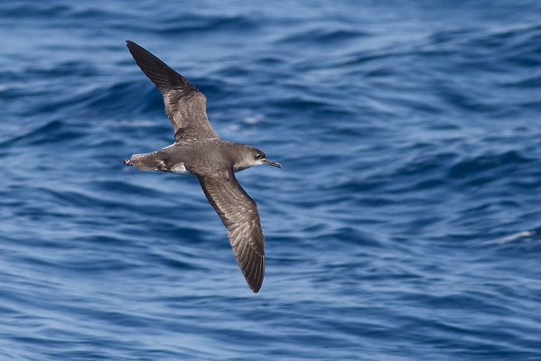Hutton's Shearwater August 28, 2011 Wollongong, NSW IMG_5948