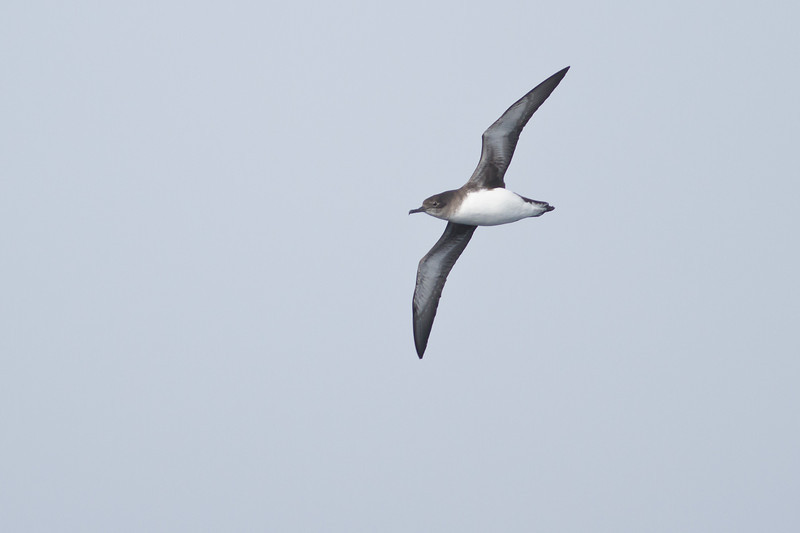 Hutton's Shearwater Eaglehawk Neck, TAS September 04, 2011 IMG_7480